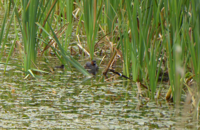 Little Grebe chick