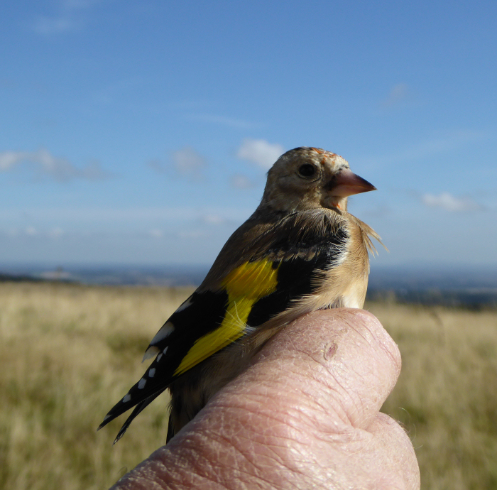 Juvenile Goldfinch