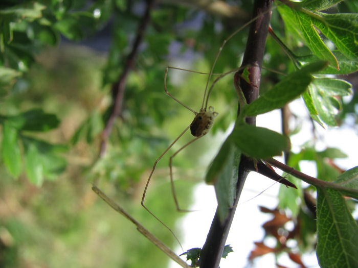 5 legged harvestman