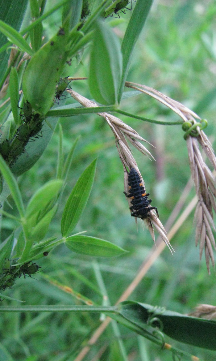Ladybird larva with blackfly in the background