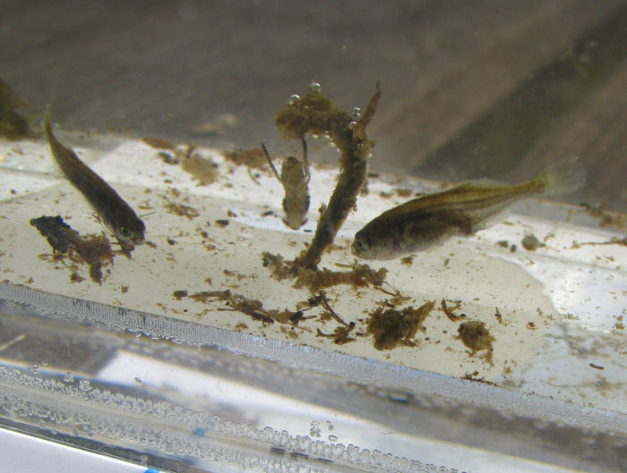 Young Sticklebacks