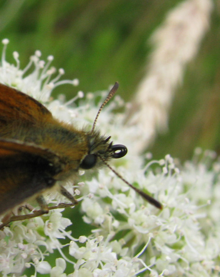 Small Skipper showing curled probcis