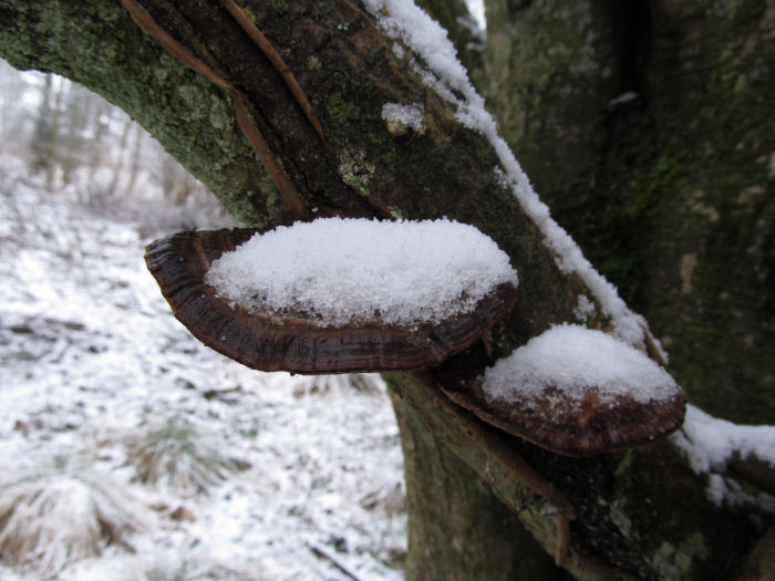 Snow on bracket fungi