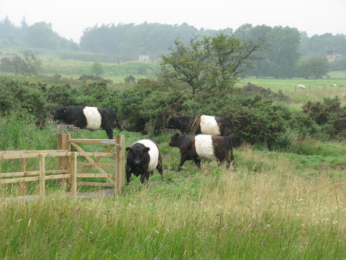 Belted Galloway Cattle on the moor
