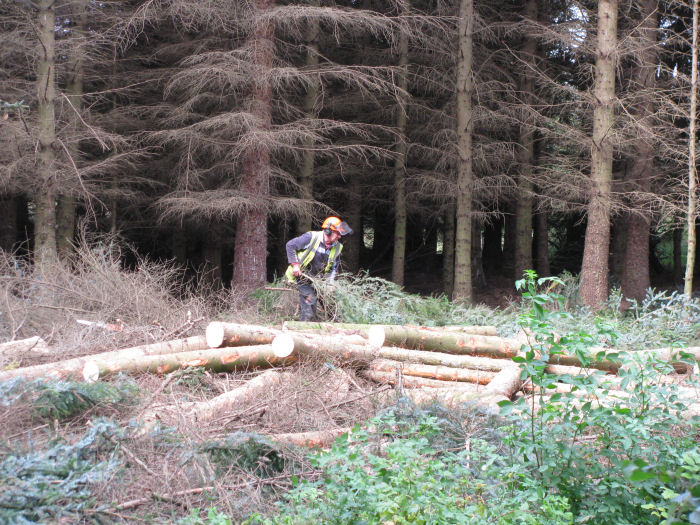 Felliing the conifer block