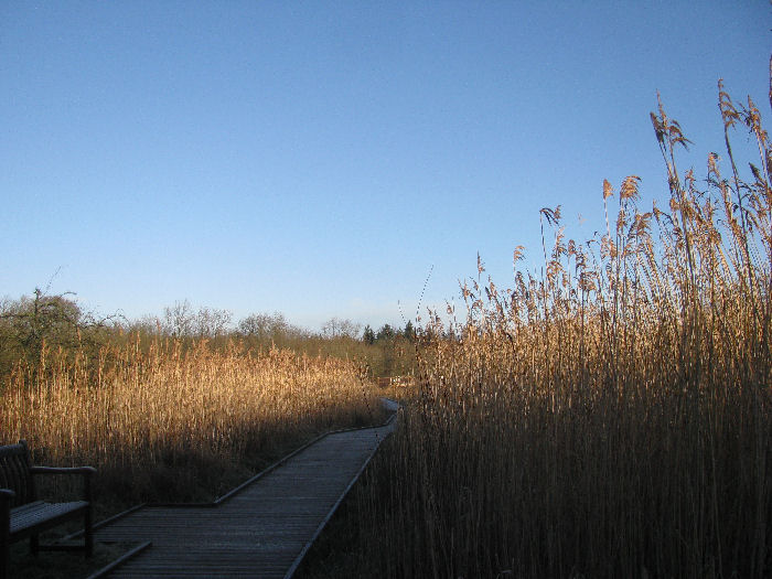 The reed bed against blue sky