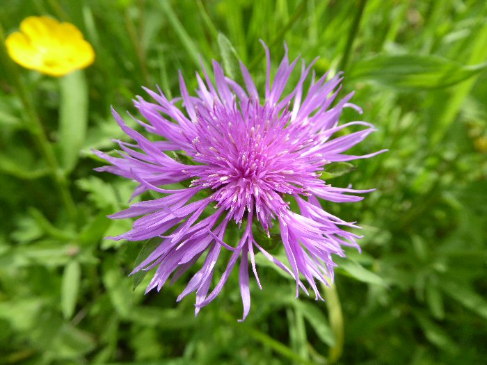 Rayed Black Knapweed