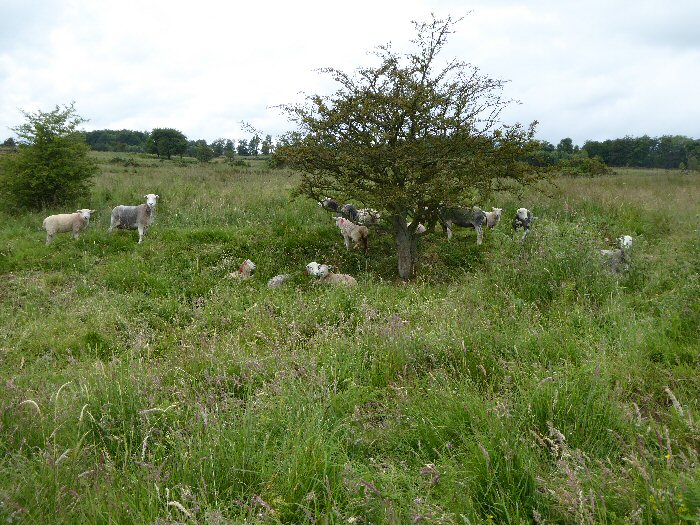 Sheep on moor