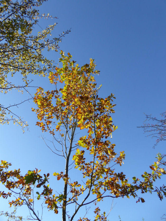 Oak leaves against a blue sky