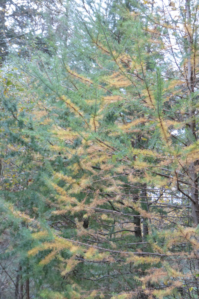 Larch turning yellow