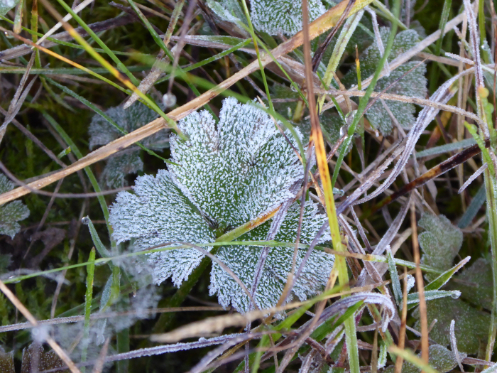 Frost on a buttercup leaf