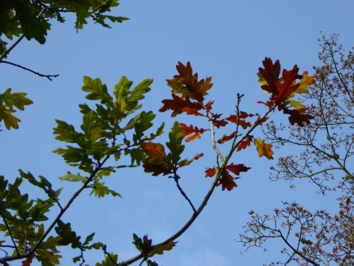 Oak leaves in the sunlight