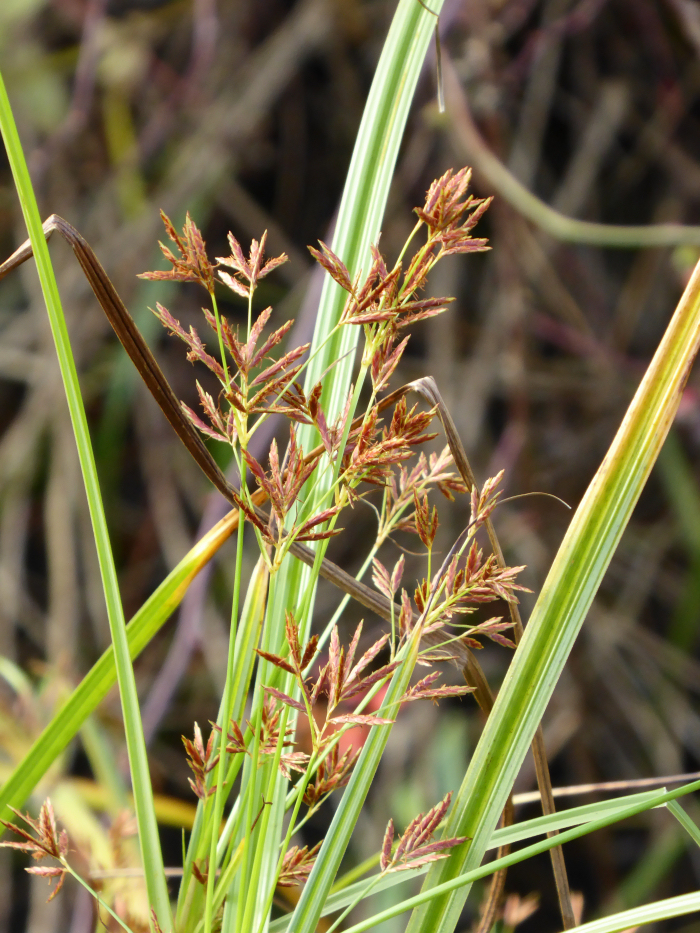 Galingale, a sedge