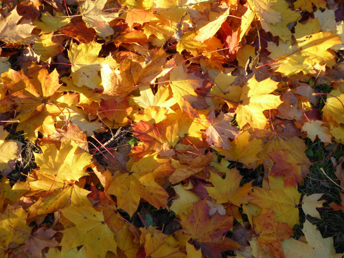 A brightly coloured palette of maple leaves