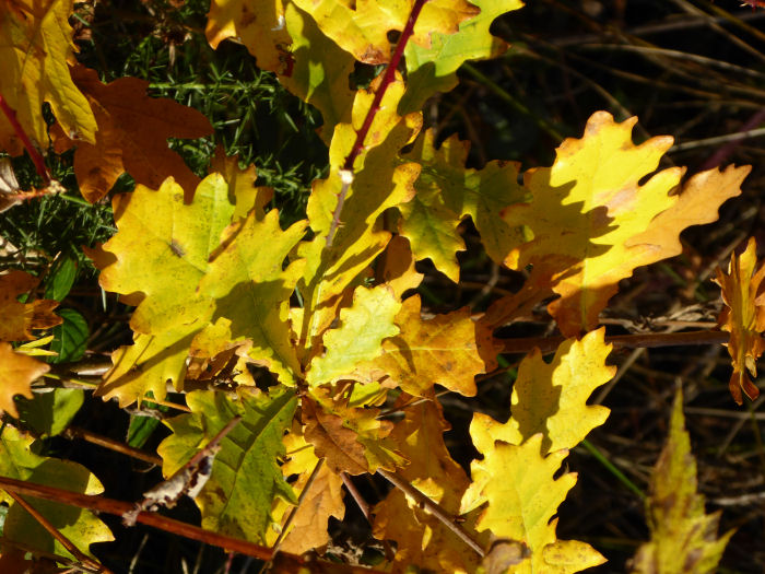 Oak leaves in the sunshine