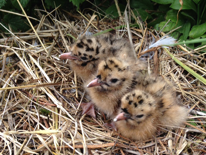 Sandwich Tern chicks