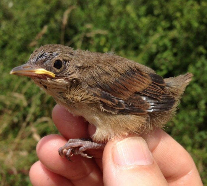 Newly fledged Whitethroat