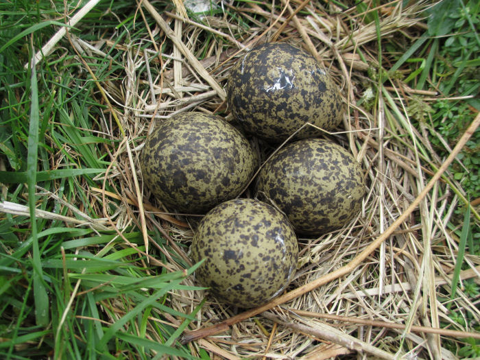 Lapwing nest with egg just beginning to hatch