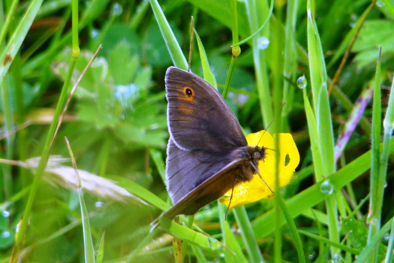 1st Meadow Brown of the Summer!