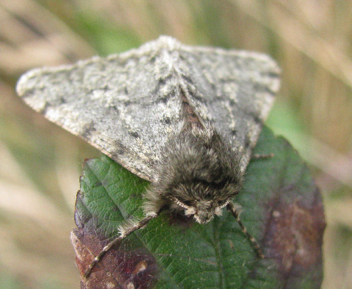 Head and legs of Pale Brindled Beauty