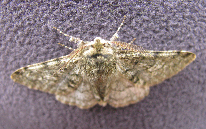 Antenna of Pale Brindled Beauty