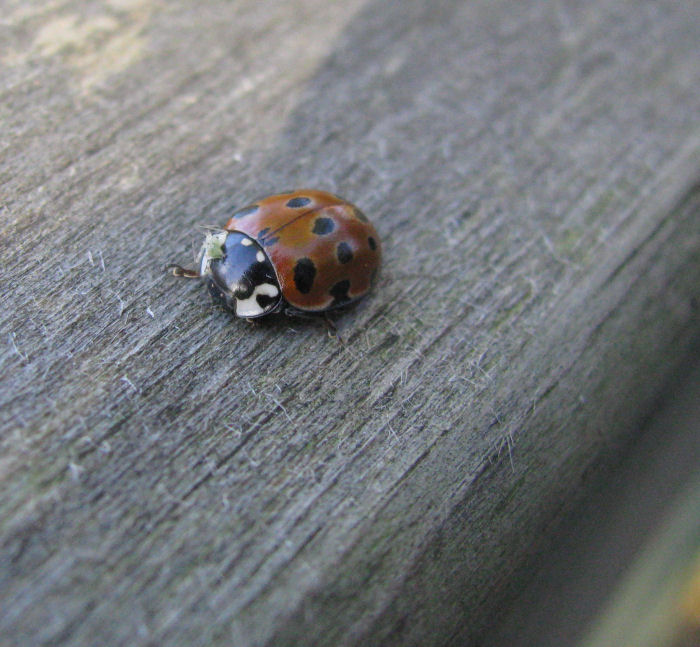 Greenfly on ladybird on handrail