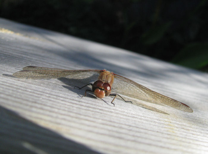 Darter on vertical part of boardwalk