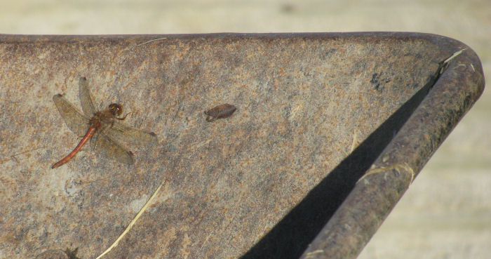 Darter dragonfly in the wheelbarrow