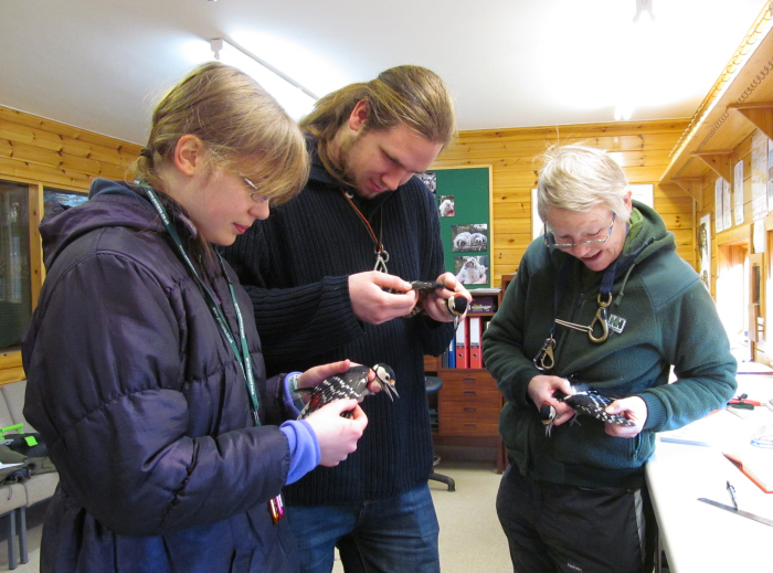 3 Great Spotted Woodpeckers in the ringing room