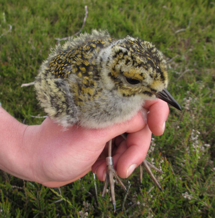 Golden Plover chick