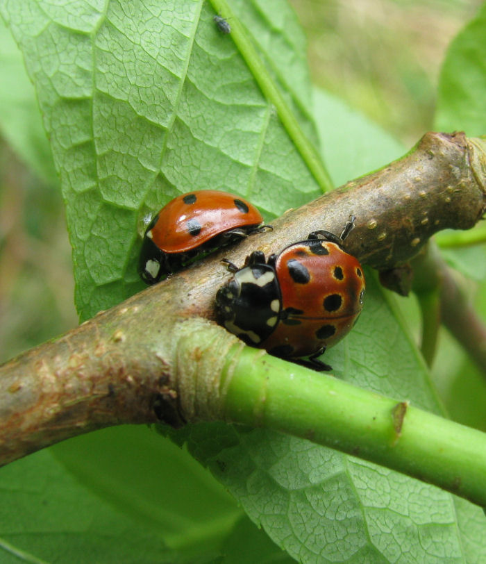 7 Spot and Eyed Ladybirds