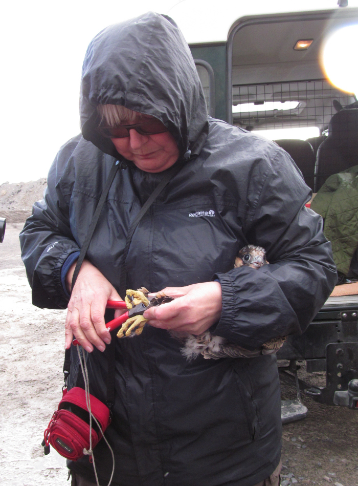 A chick being ringed