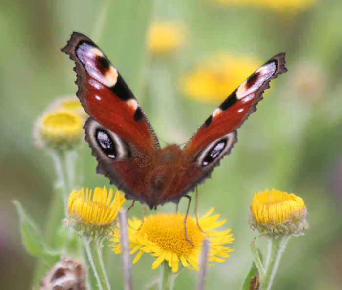 Peacock butterfly on Fleabane