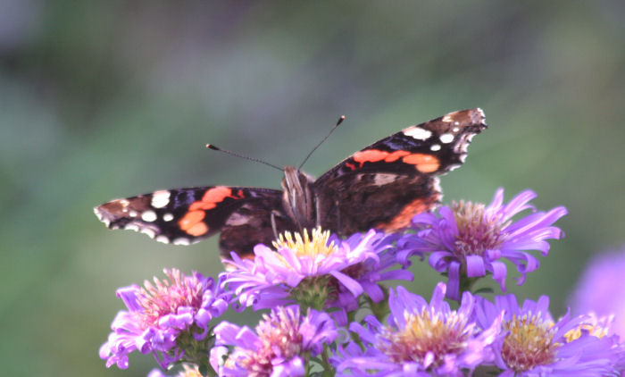 Red Admiral feeding on Michaelmas Daisies