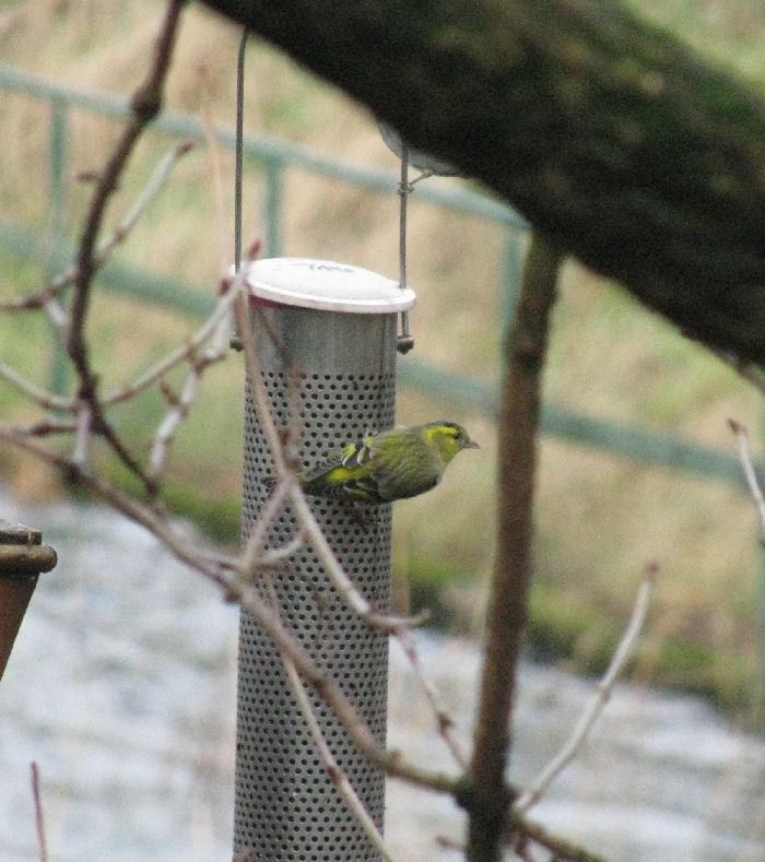 Siskin on the feeder