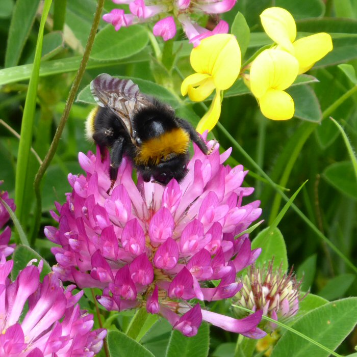 Zigzag Clover and Bee