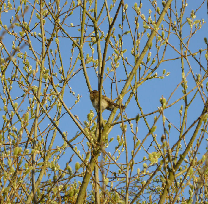 Probable Chiffchaff in a willow tree