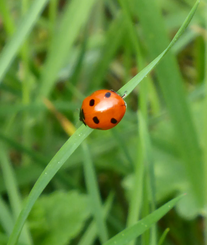 7 Spot Ladybird on blade of grass