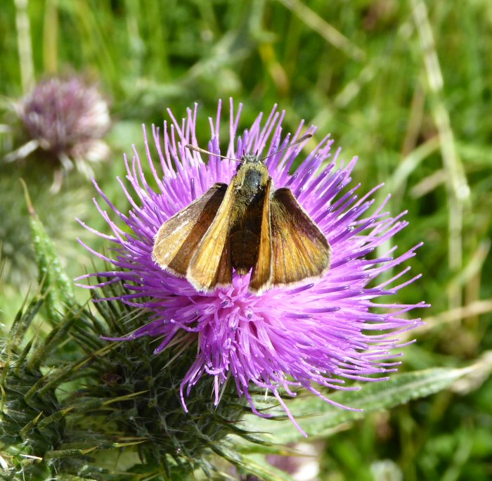 Small Skipper on thistle