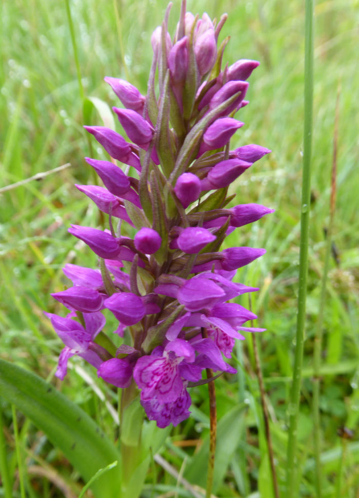 Possibly Northern Marsh Orchid