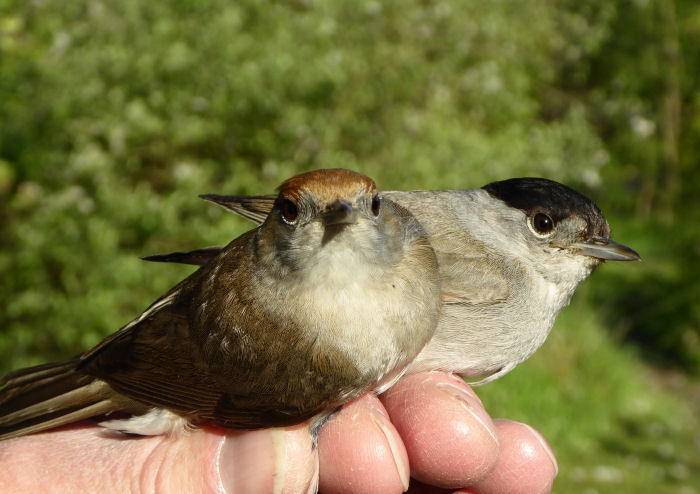 A pair of Blackcaps