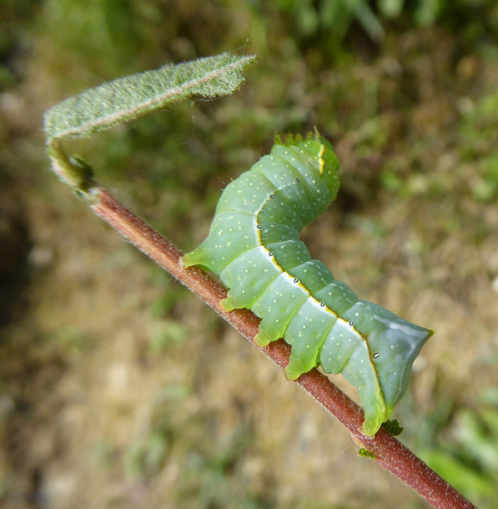 Caterpillar with no willow leaf