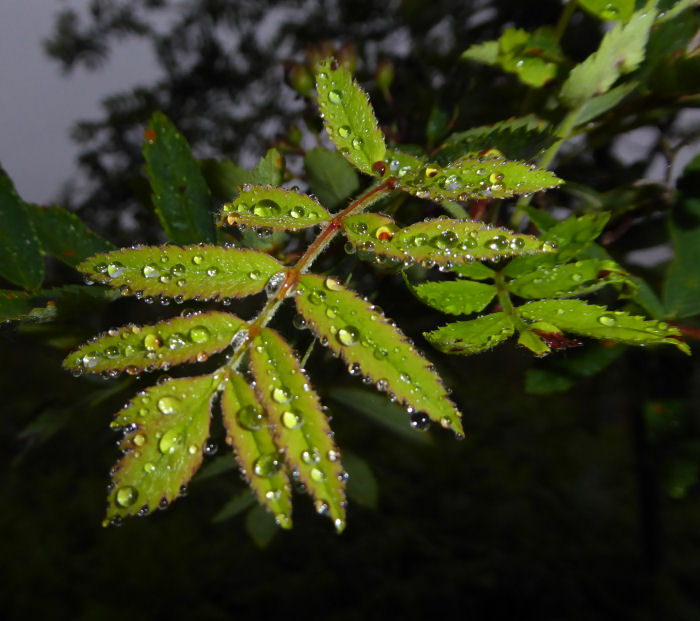 Rowan leaves and water droplets