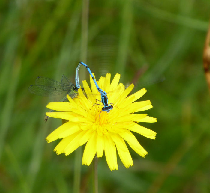 Dandlion like flower with damselflies