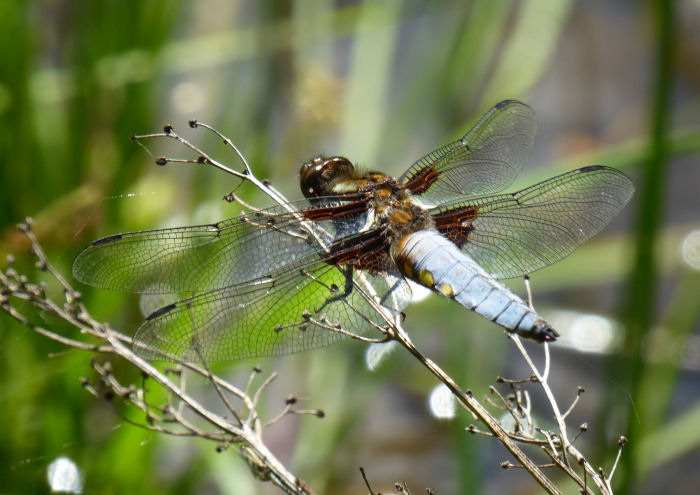 Braod-bodied Chaser