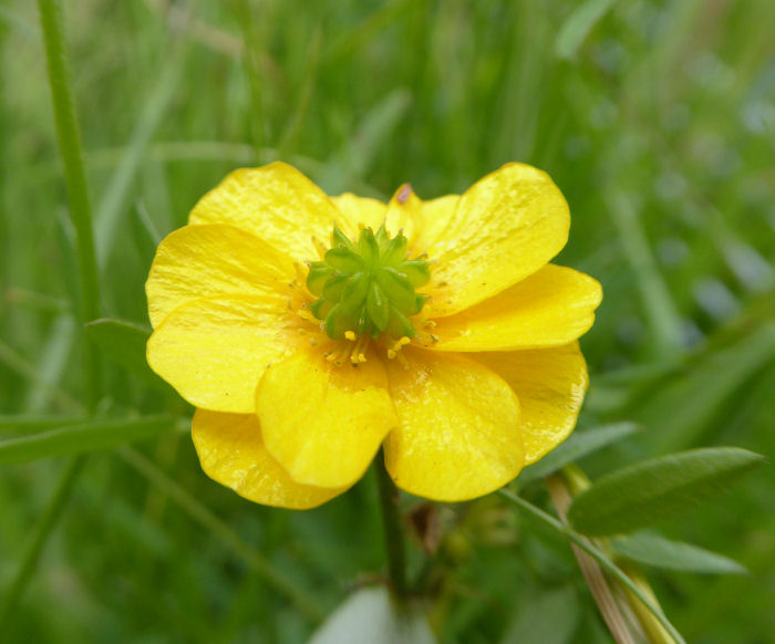 Many petaled buttercup