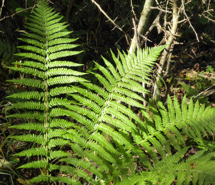 Green ferns