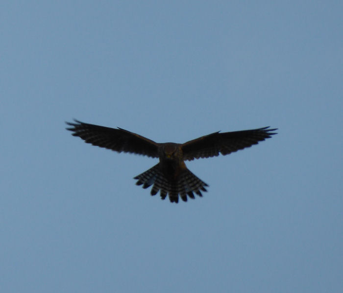 Kestrel hunting over the heath