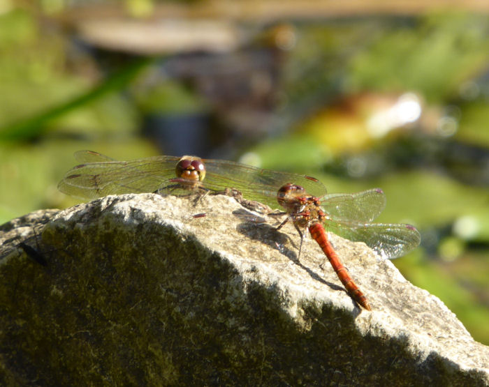 Common Darters
