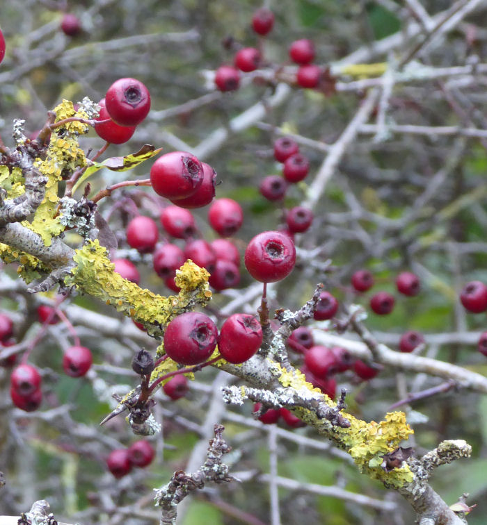 Red Hawthorn berries